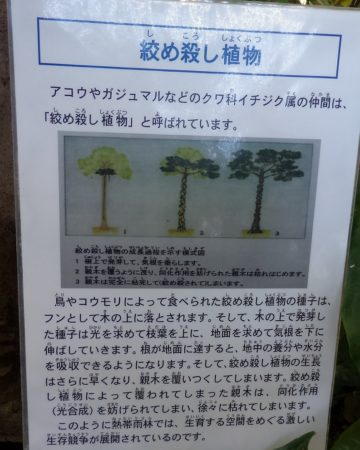 板橋区立熱帯環境植物館絞め殺し01
